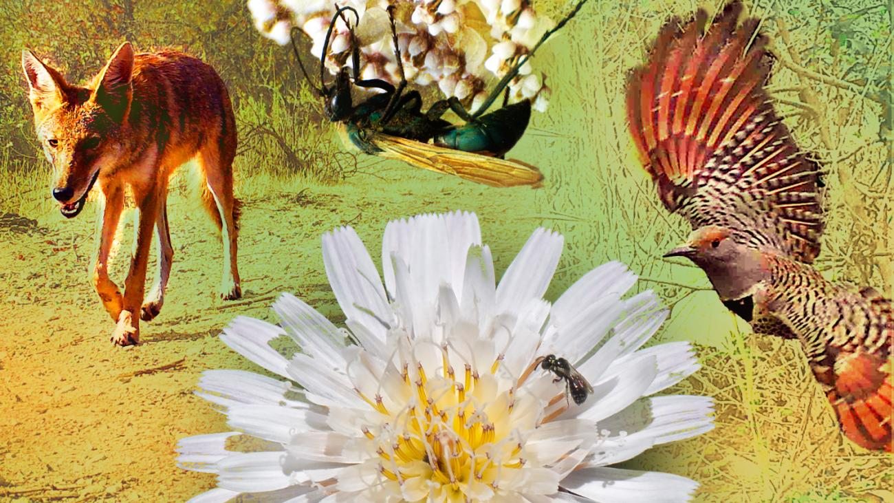 Photo illustration of coyote, insects, flowers, bird at Bernard Field Station