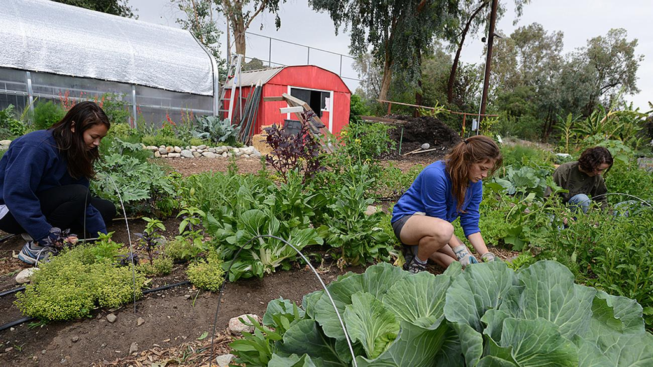Students working at the Pomona College Organic Farm